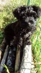 Mogly, chien Yorkshire Terrier