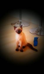 Moguo, chat Siamois