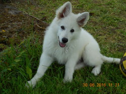 Moican, chien Berger blanc suisse
