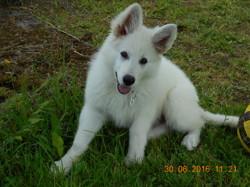 Moican, chien Berger blanc suisse