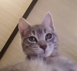 Moihra, chat Européen