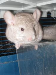 Mojito, rongeur Chinchilla