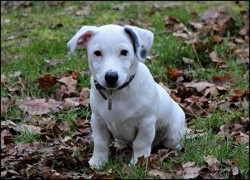 Mojito, chiot Jack Russell Terrier