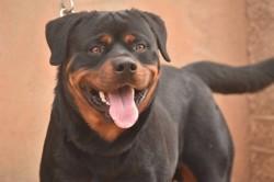 Mojito, chien Rottweiler