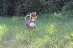 Mojo, chien Berger australien