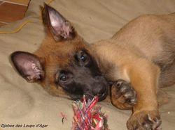 Moka, chien Berger belge