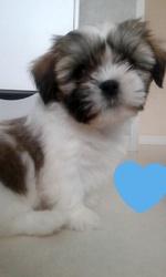 Moka, chien Épagneul tibétain