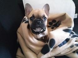 Moka, chien Bouledogue français
