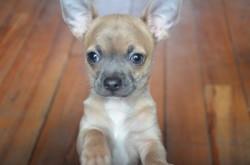 Moka, chien Chihuahua