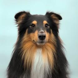 Moka, chien Berger des Shetland