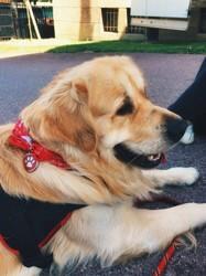Moka, chien Golden Retriever