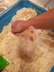 Moka, rongeur Hamster