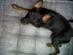 Moka, chien Pinscher