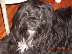 Moka, chien Lhassa Apso