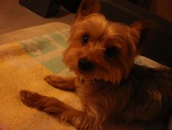 Moka, chien Yorkshire Terrier