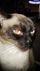 Moka, chat Siamois