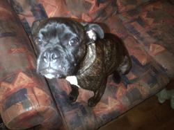 Moka, chien Bulldog