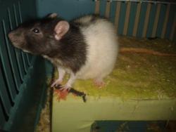 Moka, rongeur Rat