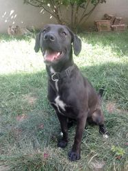 Moka, chien Labrador Retriever