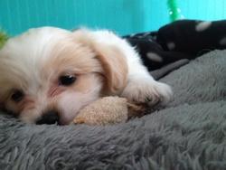 Moka, chien Bichon maltais