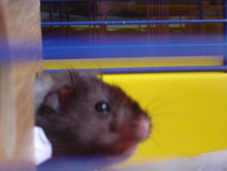 Molie, rongeur Hamster