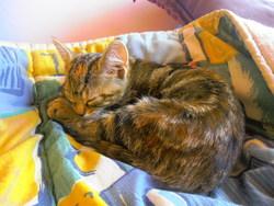 Mollie, chat Européen