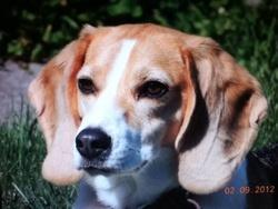 Mollie, chien Beagle