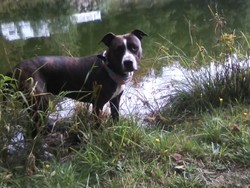 Molly, chien Staffordshire Bull Terrier