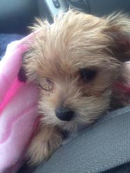 Molly, chien Bichon havanais