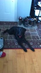 Molly, chien Golden Retriever