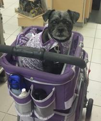 Molly, chien Chien courant d'Istrie à poil ras