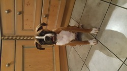Molly, chien Boxer