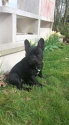 Molly, chien Bouledogue français