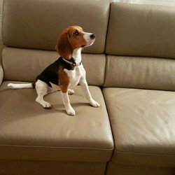 Molly, chien Beagle