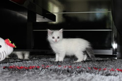 Molly, chaton Gouttière
