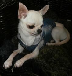 Molly, chien Chihuahua