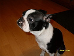 Molly, chien Terrier de Boston