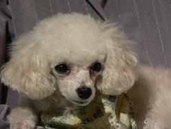 Molly, chien Caniche