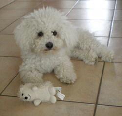 Molly , chien Bichon à poil frisé