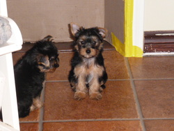 Molly, chien Yorkshire Terrier