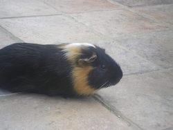 Molly, rongeur Cochon d'Inde