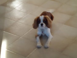 Molly, chien Cavalier King Charles Spaniel