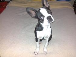 Molly, chien Barbet