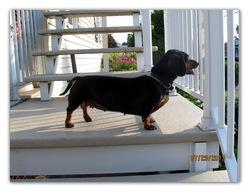 Molly, chien Teckel