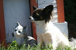 Molly, chien Épagneul nain continental