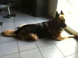 Molly, chien Berger allemand