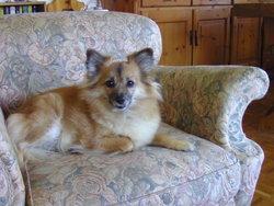 Molly, chien Volpino