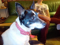 Molly, chien Jack Russell Terrier