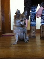Molly, chien Spitz allemand