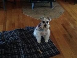 Molly, chien Schnauzer